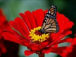papillon.fleur.rouge.jpg